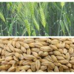 Benefits of Jau (Barley) in Hindi-जौ के फ़ायदे(Jau ke fayde), उपयोग और नुकसान