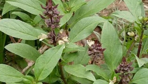 marua plant benefits in hindi